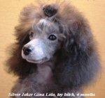 silver poodle.jpg
